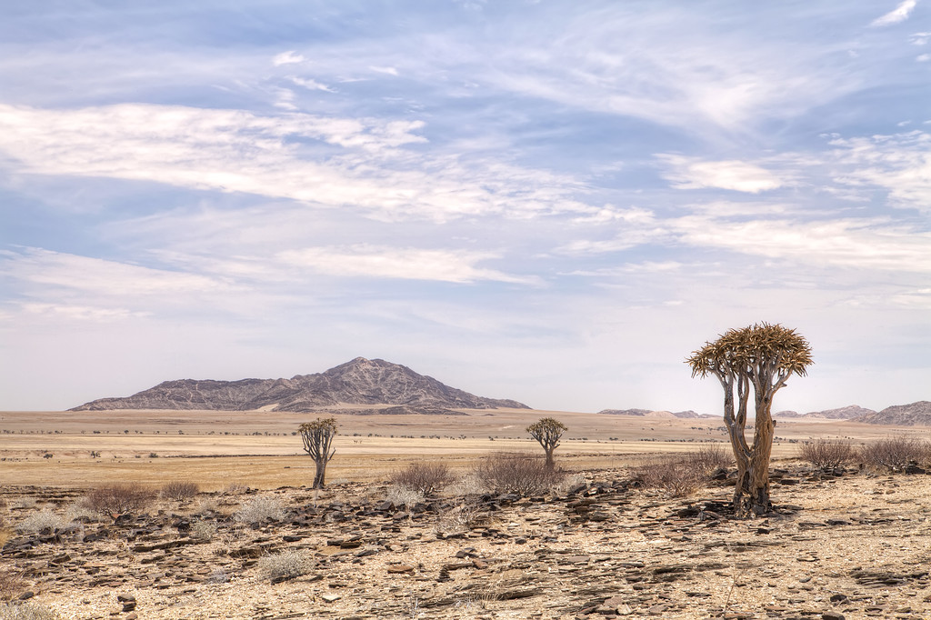 Three quiver trees and a mountain in the Namibia desert with a bright blue sky and whispy clouds