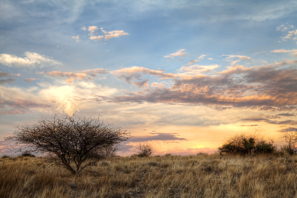 A tree in the African brush of Namibia at sunset.
