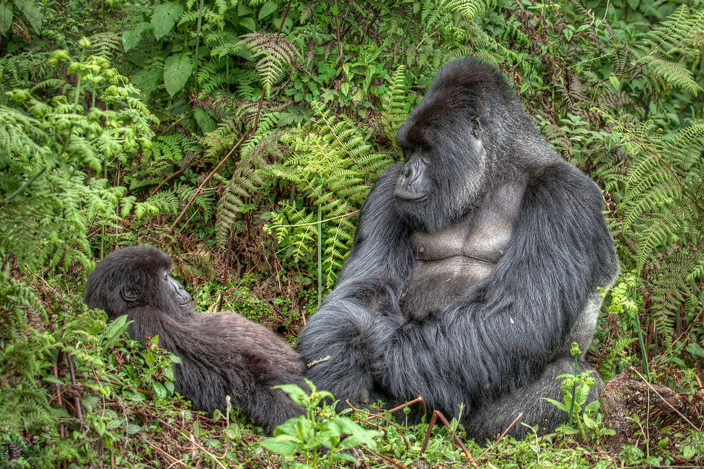 A silverback mountain gorilla makes eye contact with a young mountain gorilla surrounded by greenery in Rwanda.
