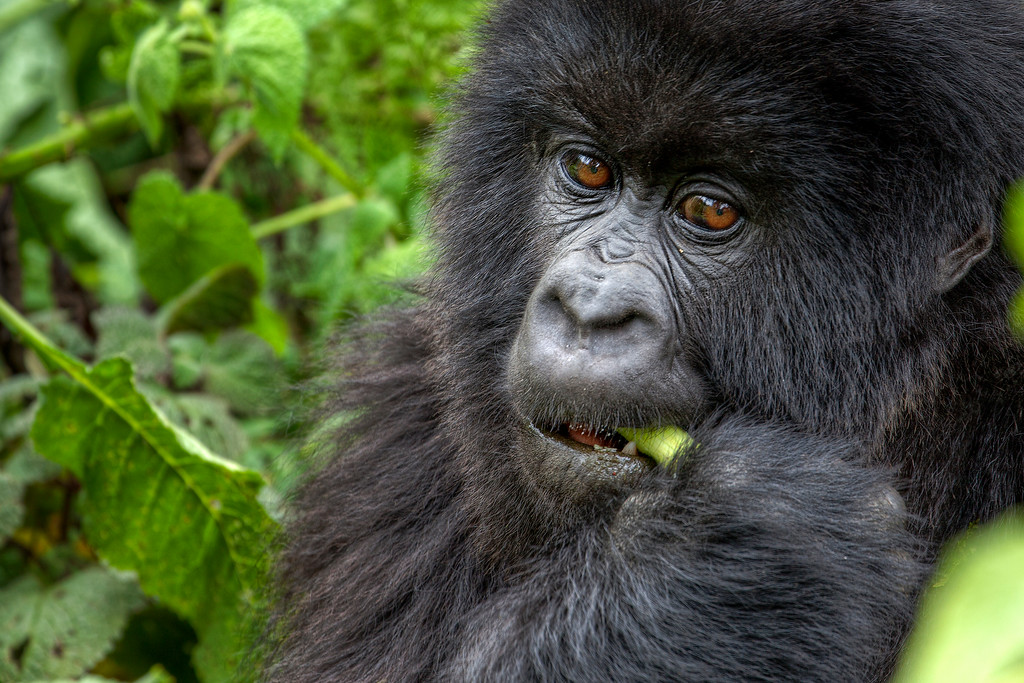 Close up portrait of mountain gorilla eating against a green background in Rwanda.