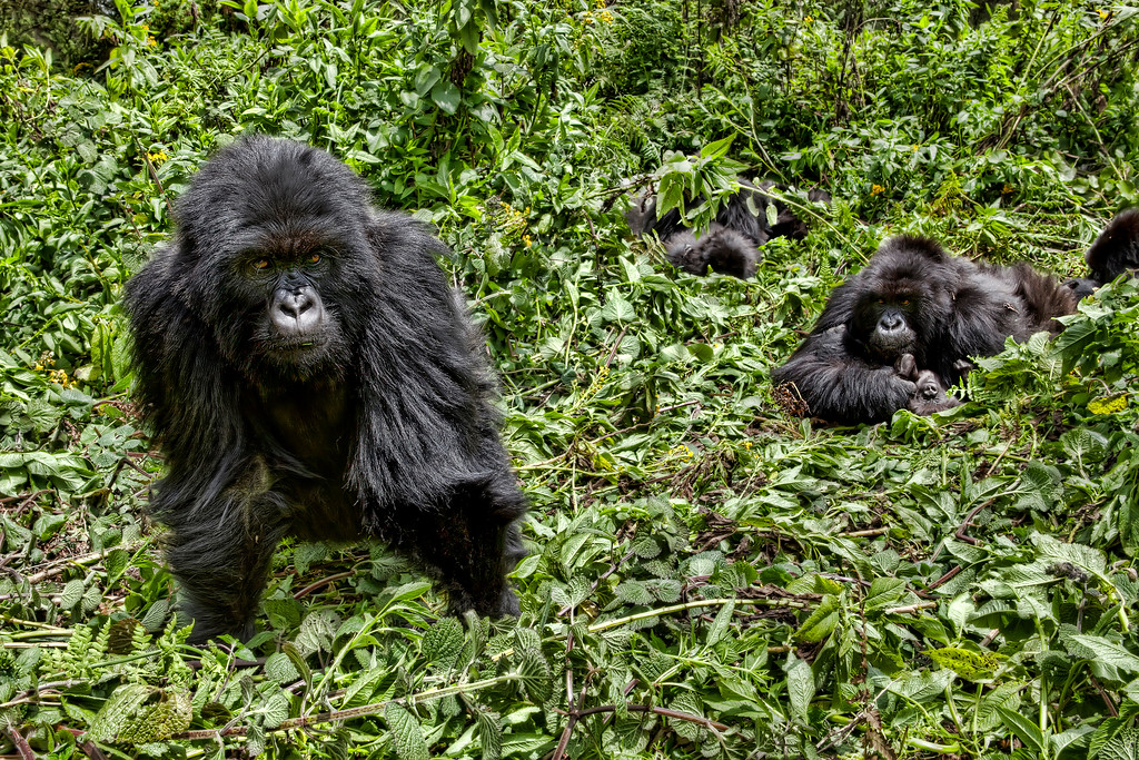Group of gorillas surrounded by greenery in Rwanda
