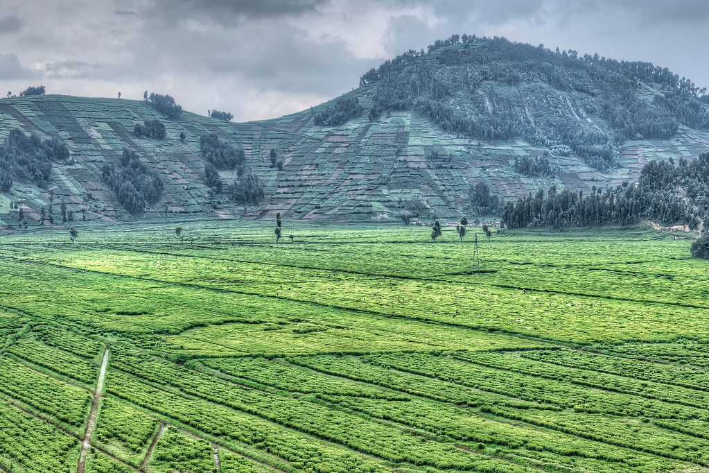 Tea fields between Musanze and Giseny in Rwanda with terraced mountain sides and people working the fields, which you can see if you zoom in.