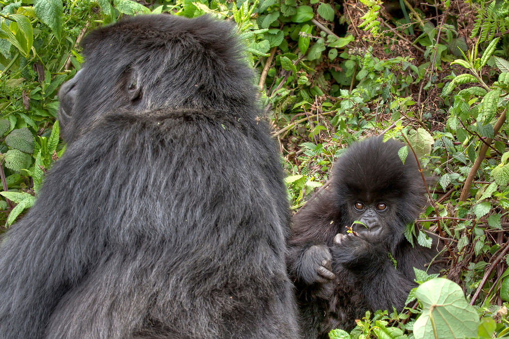 Mother gorilla with back turned and baby gorilla staring into the camera surrounded by greenery in Rwanda.