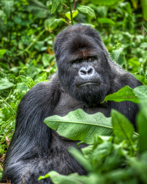 Silverback gorilla looking seriously angry or grumpy amid greenery in Rwanda.