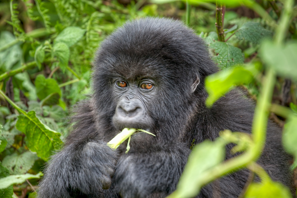 Young mountain gorilla eating while surrounded by greenery in Rwanda.