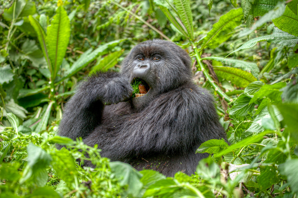 Mountain gorilla enjoying eating something green with a big open mouth and large brown eyes surrounded by greenery in Rwanda.