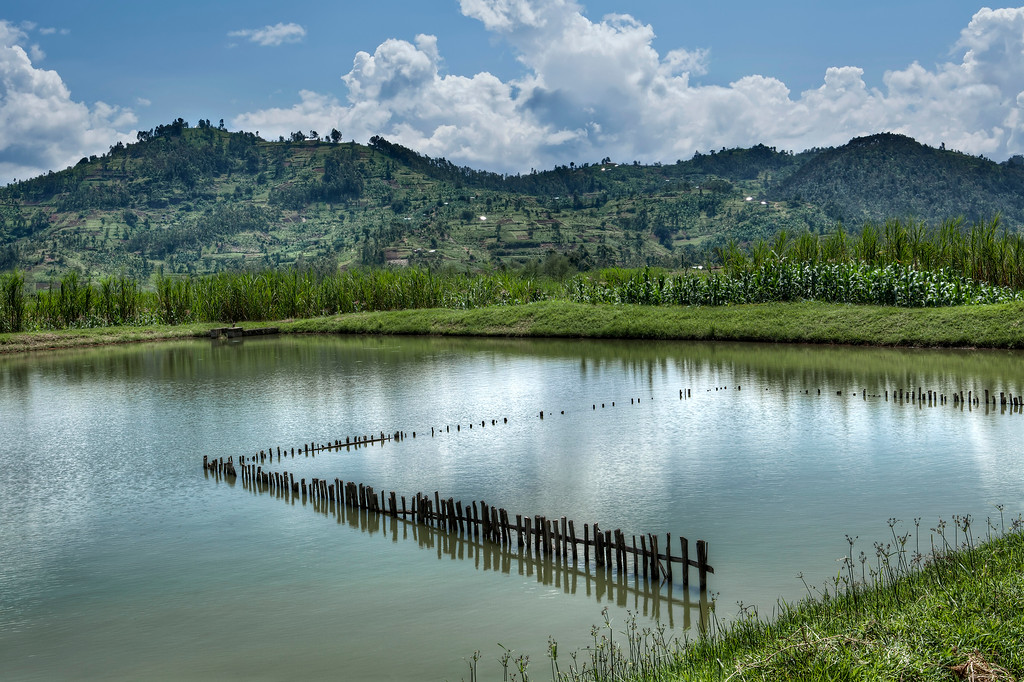 Large, man-made pool of water in amongst the sugar cane, maize and potatoes in Rwanda countryside contains a fish pond separated by a sunken woodfence.