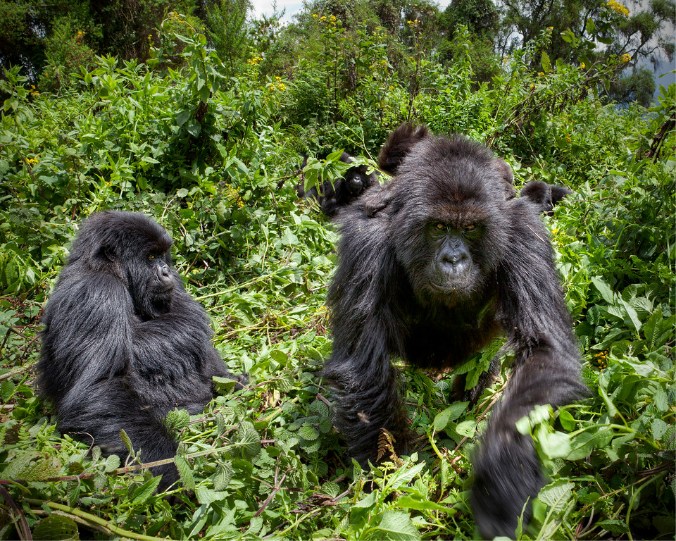 Group of mountain gorillas coming through the green foliage with a silverback really showing quickness in Rwanda. 