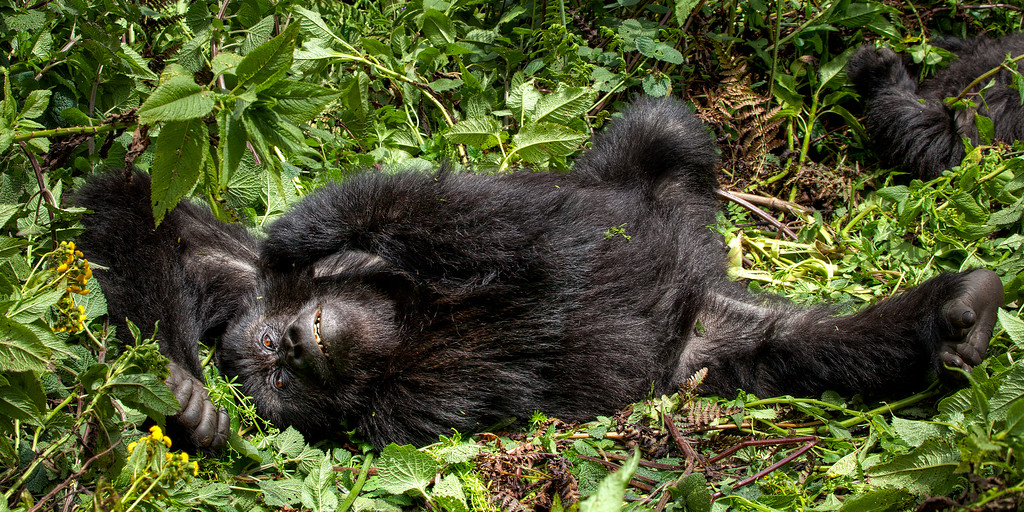 Friendly mountain gorilla having a good stretch while lying down among greenery in Rwanda