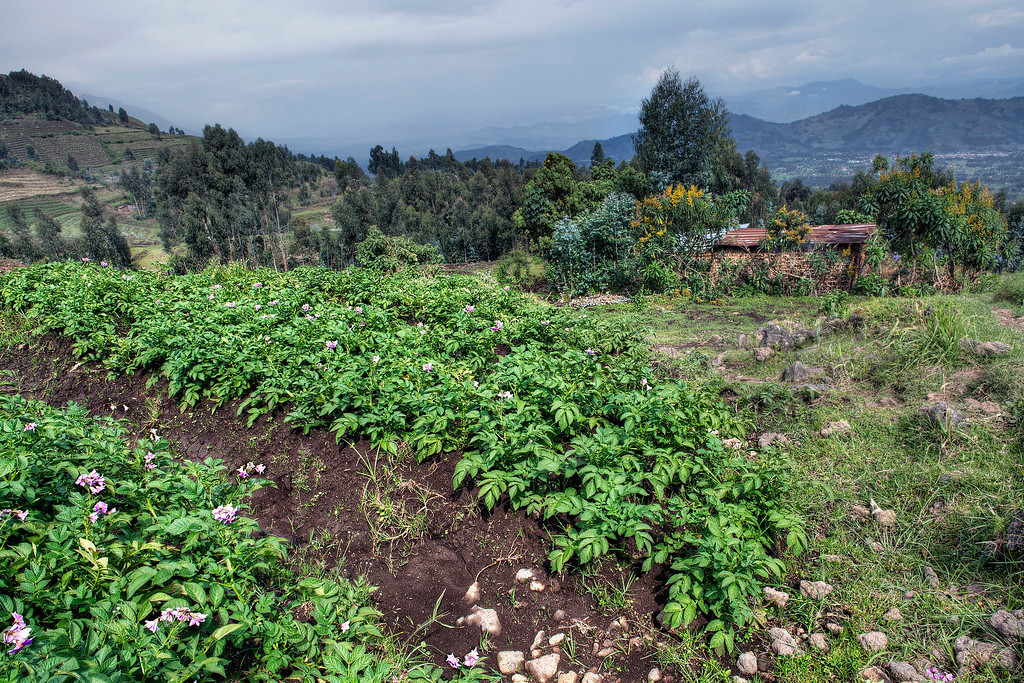 View of Rwanda countryside with potato (purple flowers) farm and shack and mountains.