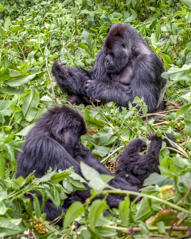 Group of three gorillas in Rwanda doing their own thing surrounded by greenery