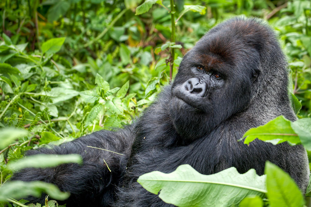 Silver back mountain gorilla sitting and seeming deep in thought surrounded by greenery in Rwanda.
