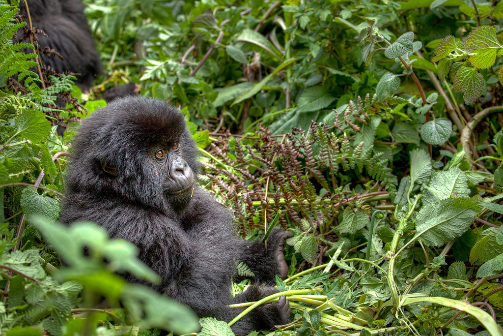 Cute fuzzy young gorilla relaxing amount greenery in Rwanda.