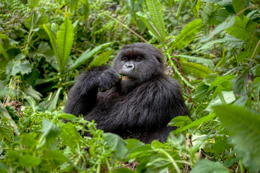 Silverback mountain gorilla eating with teeth showing surrounded by greenery in Rwanda.