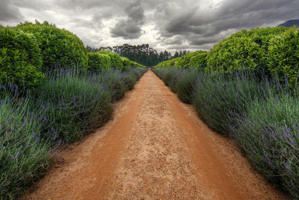 Long straight road of brown soil between lavender and bushes leading to Spier Winery in Capetown, South Africa