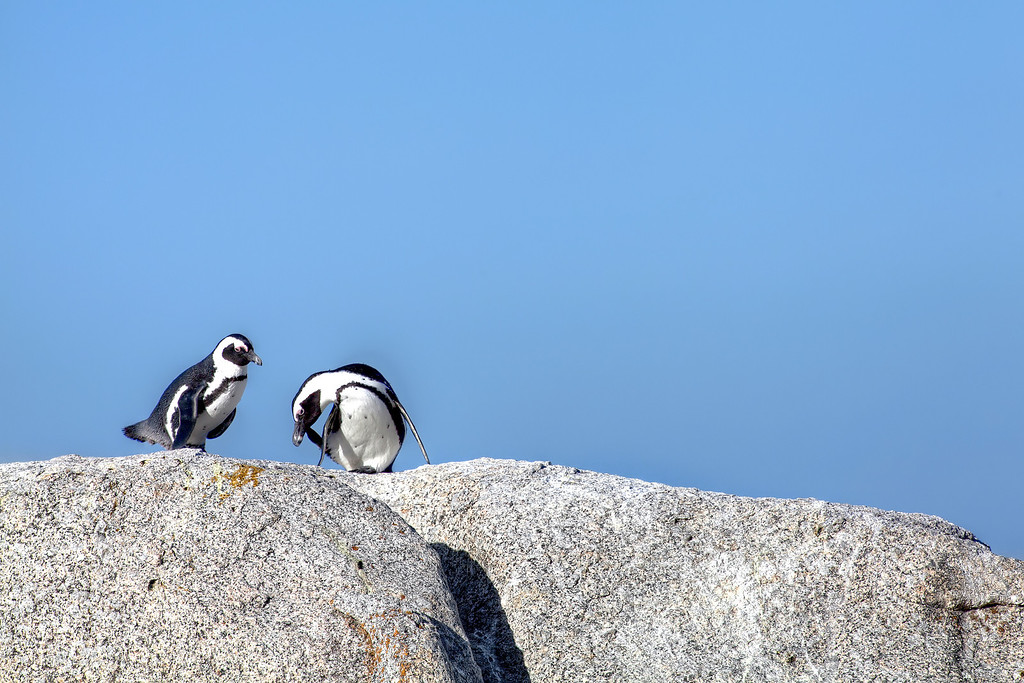 Two Penguins on top of boulders in front of clear blue sky at Boulders Bay, South Africa