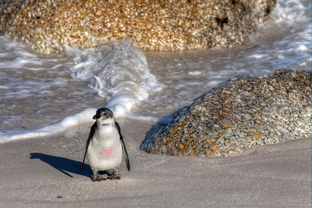 A baby african jackass penguin with a pink heart painted on it's chest on the beach at Boulders Bay South Africa