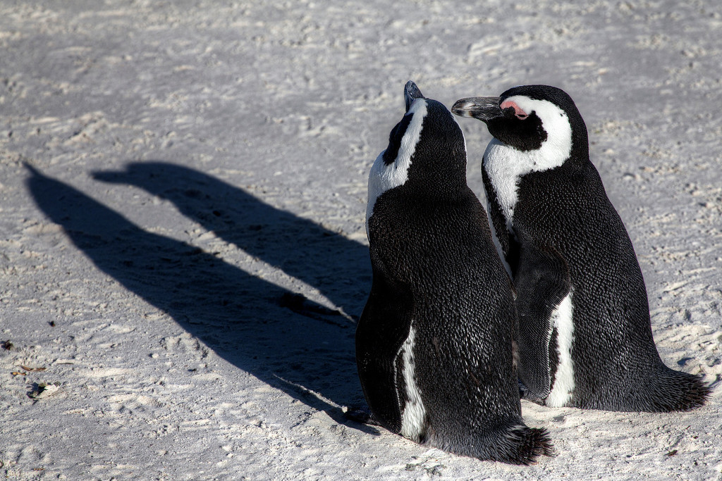 Two African Penguins or Jackass penguins and their shadows on a sandy beach at Boulder's Bay, South Africa.