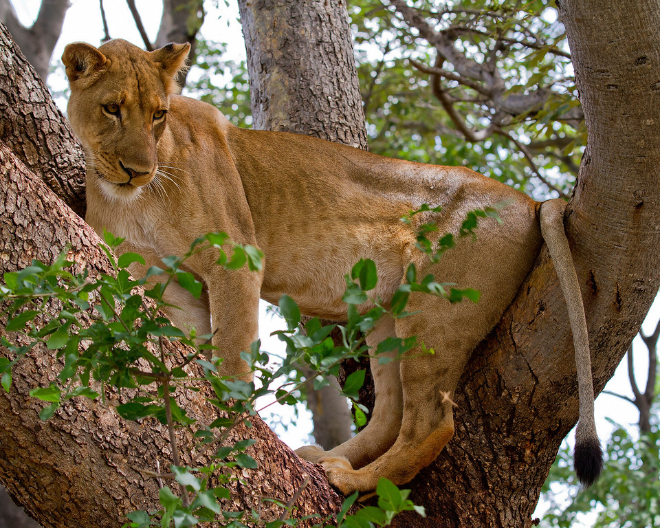 a lioness up a tree looks down at the animals below in Zambia