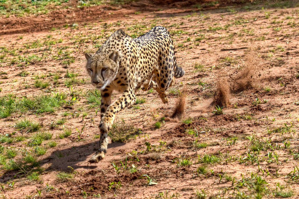 Cheetah running with dirt flying up behind in Zambia