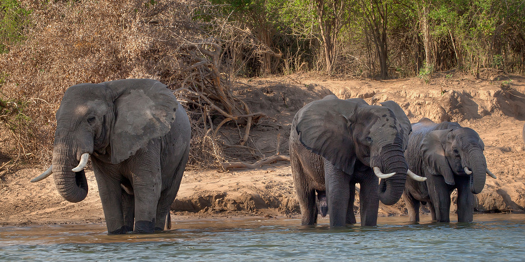 Three African elephants drinking at the water's edge of the lower Zambezi in Zambia.