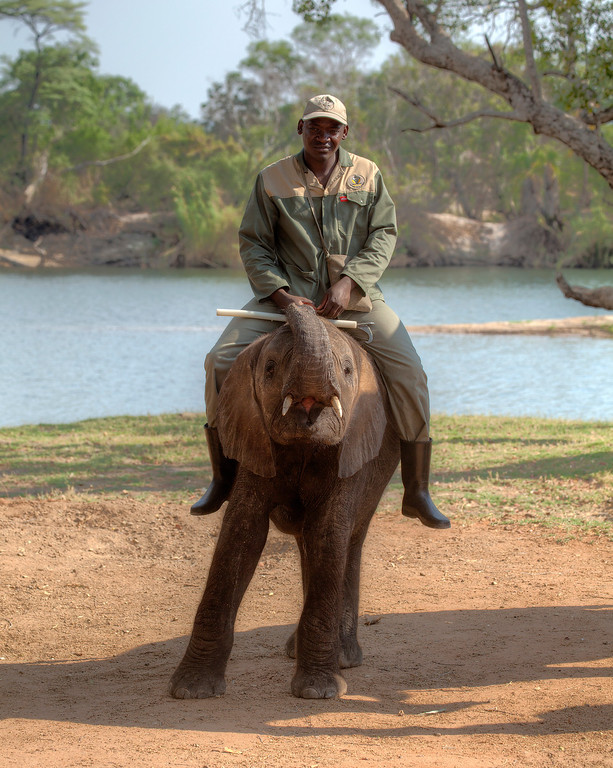 Young elephant with his trainer besides the Zambezi River in Zambia