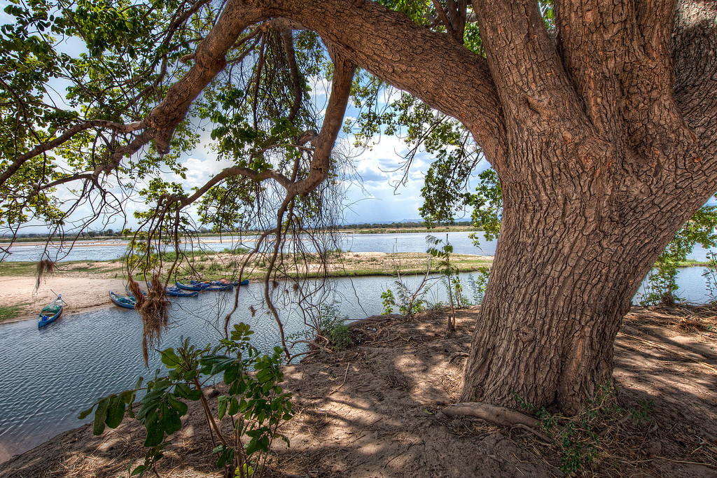 Old tree with cracked wrinkled bark and five blue canoes on the shoreline on the Zambezi River in Zimbabwe.