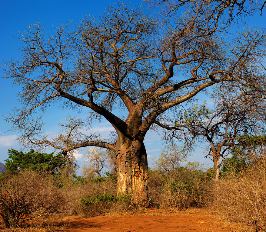 Baobab tree with scarred trunk under blue sky in Zambia