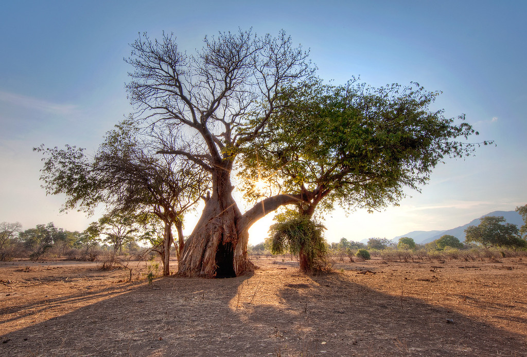 Baobab tree with large doorway-size hole in trunk caused by elephants in the center of a dirt field in Zambia.