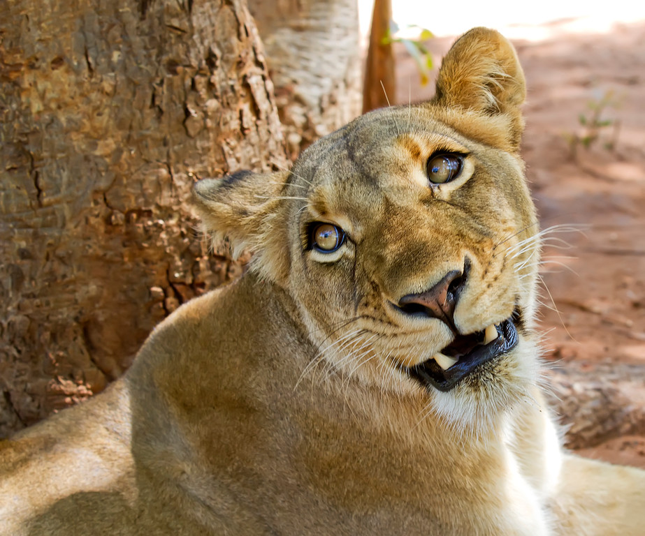 Face of a female lioness up close on a lion walk in Livingstone Zambia