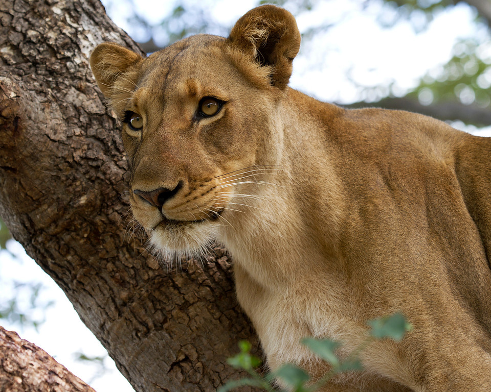 a closeup of a lioness in a tree, concentrating on something in the distance, Zambia.