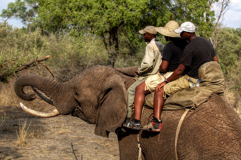 Three men sitting atop a large elephant as he takes a detour to eat from a tasty tree in Zambia.