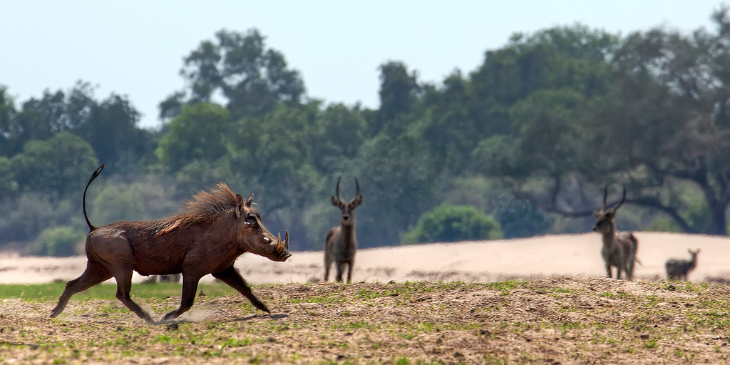 Warthog running, tail held high, on the sandy riverside of the Zambezi River with waterbucks watching and green foliage behind in Zambia.