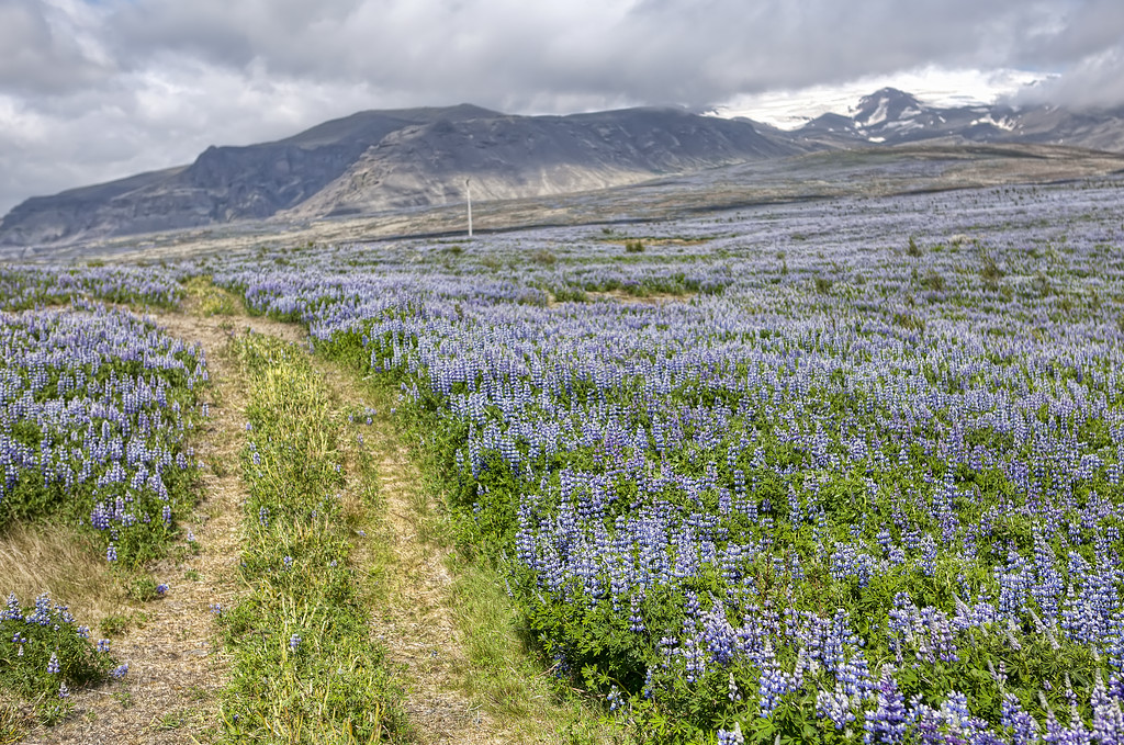 Trail through wildflower field of purple lupins (lupine) reaching to the mountains in Iceland