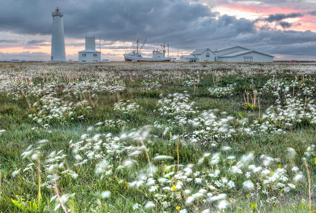 Field of white flowers blowing in the wind with a lighthouse, boat and buildings in a row with clouds and sunset in Iceland.