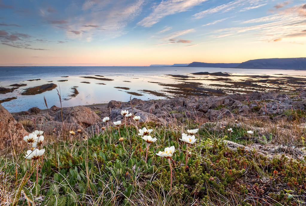 White wildflowers on the rocky shore with a beautiful sunrise over the ocean and fjords with the bird cliffs at Latrabjarg in the distance in Iceland.
