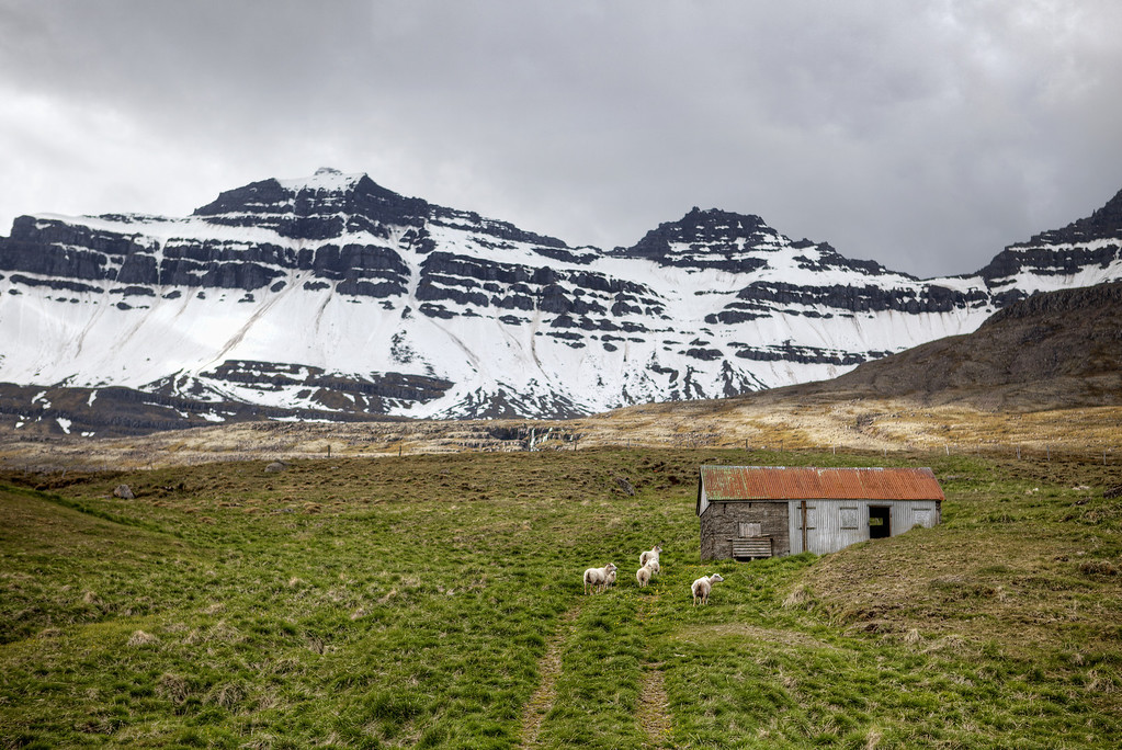 Sheep and shack with a a red roof set in a green field with rugged snow covered mountains in the background in Iceland.