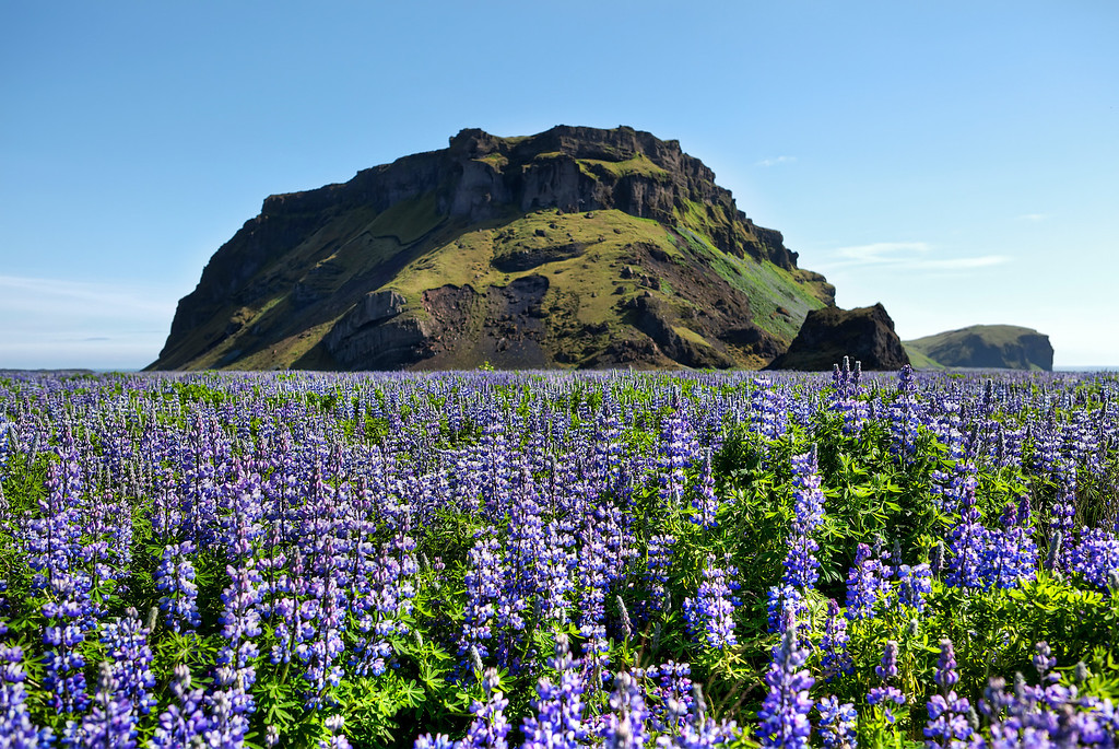 Field of purple flowers, lupines, with a large moss covered rock behind in Iceland.