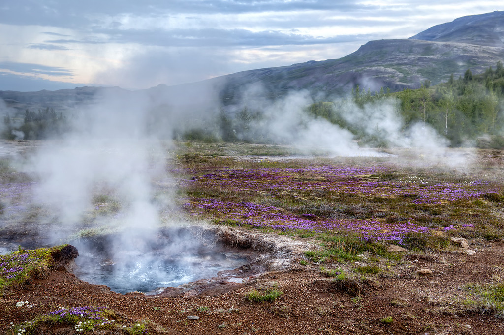 Small thermal geyser at Geysir, Iceland surrounded by purple flowers