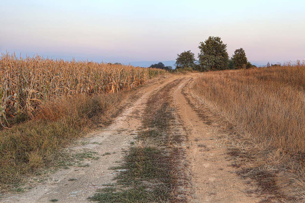 Dirt road and dried out crops with golden light in Piedmont, Italy