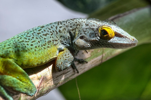 Macro closeup of green and yellow Bermuda lizard with protruding eye on a leaf