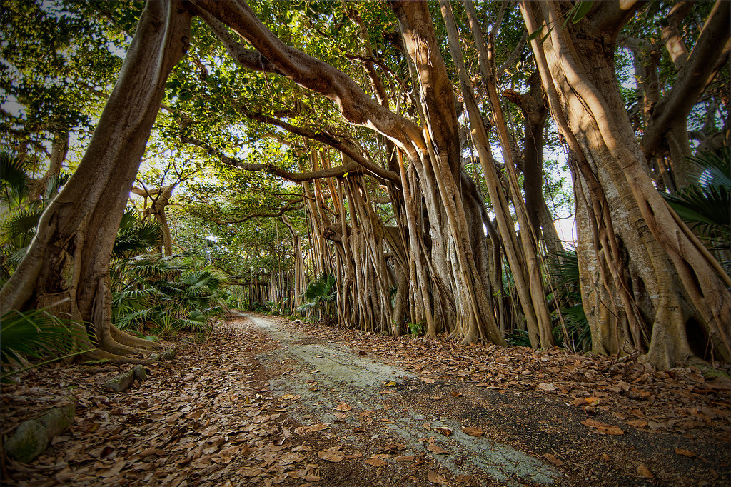 Banyan tree growing over a dirt road creating a tunnel at Southlands, Bermuda