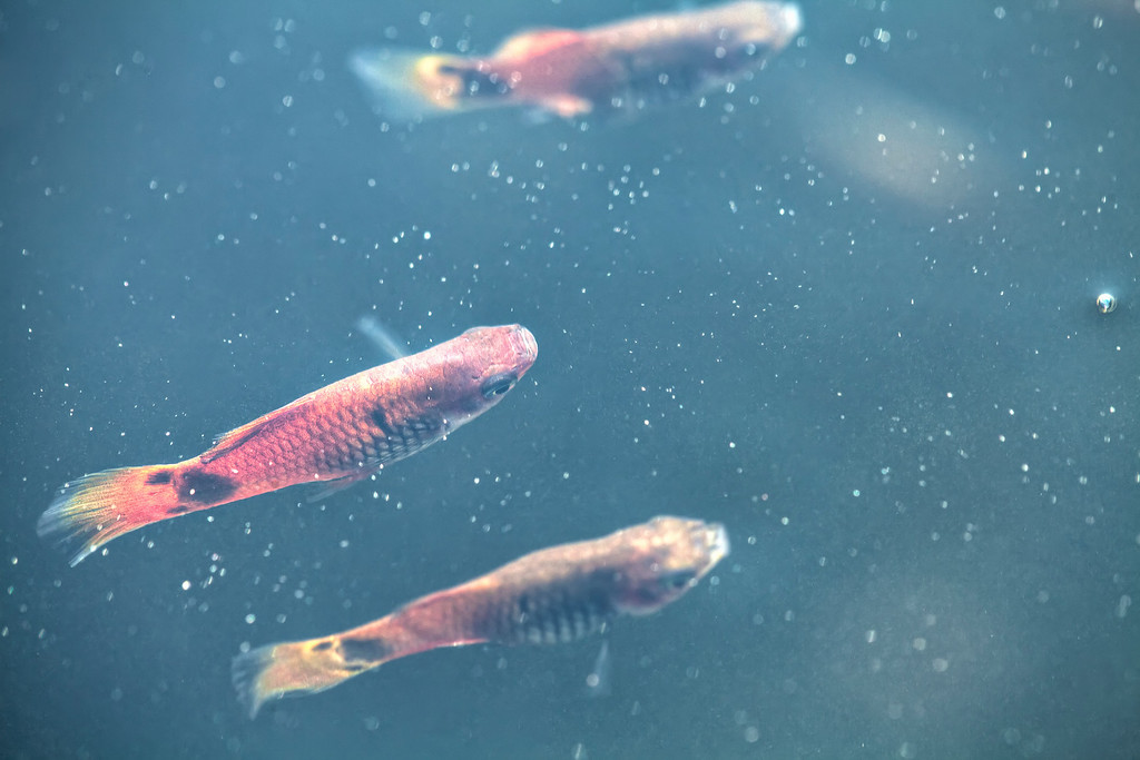 Small goldfish in a pond, taken from above the water