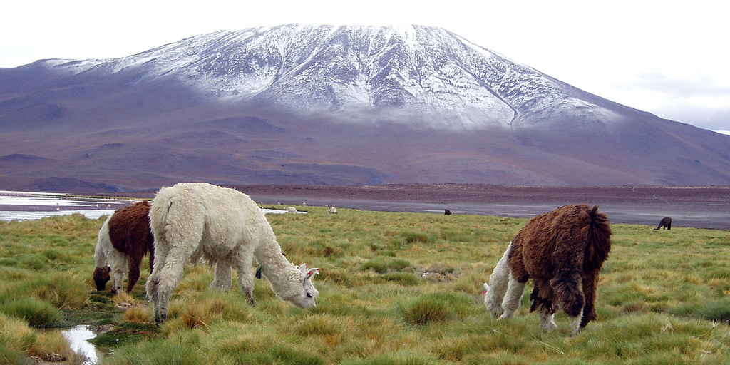 Llamas eat grass in front of a snow capped mountain in Ayuni, Bolivia