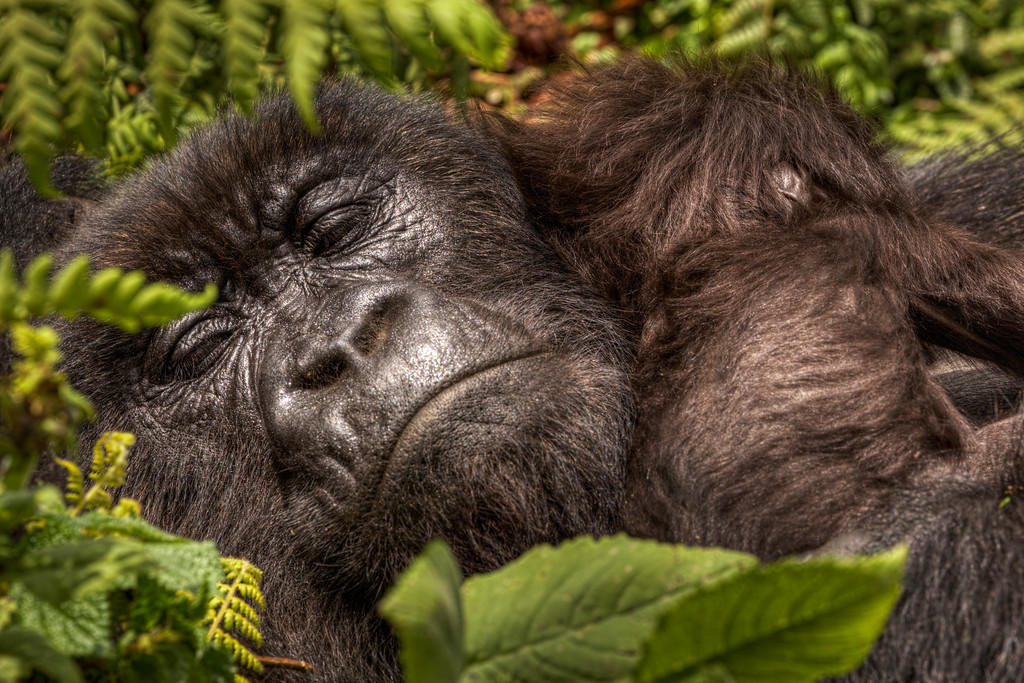 Face of mother mountain gorilla sleeping with her baby on her shoulder in Rwanda.