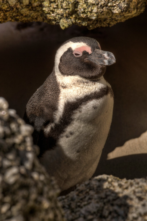 Western Capes penguin in the rocks at Boulders Bay, Cape Town, South Africa.