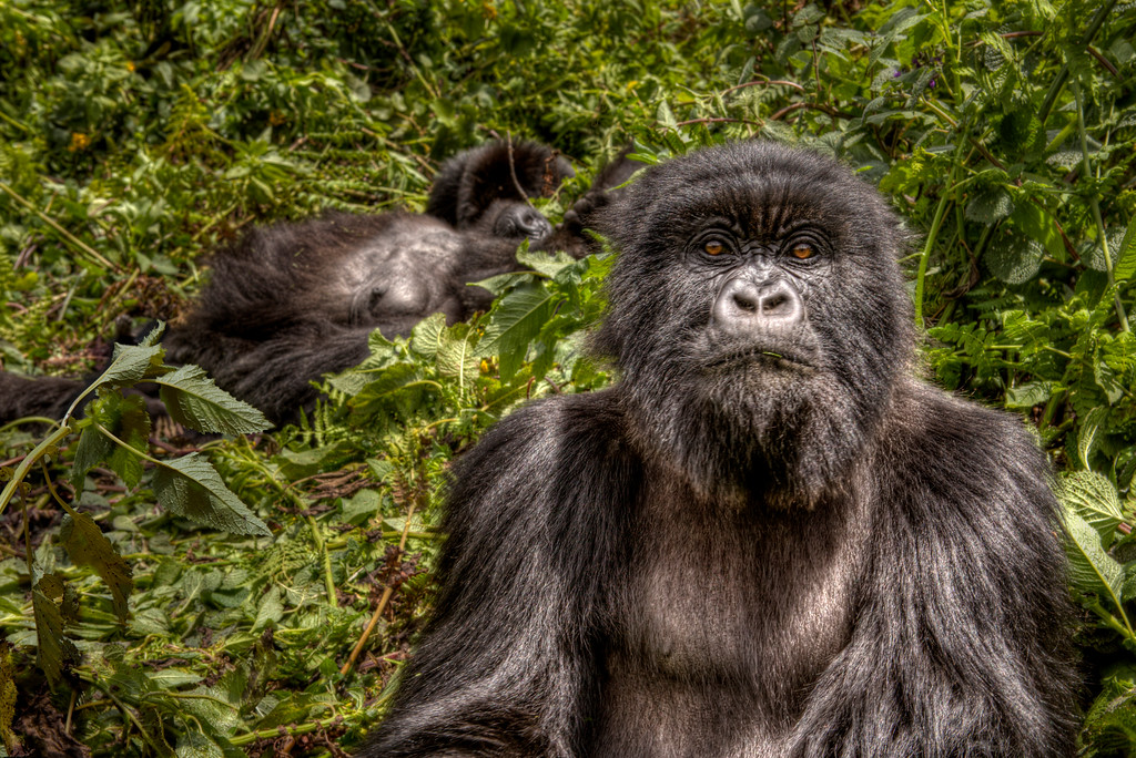 Mountain gorilla of the Susa group in Rwanda locking eyes with the photographer.
