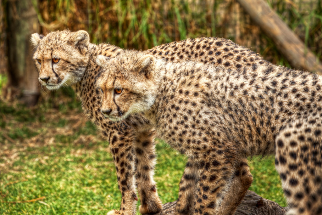 Two adolescent cheetahs with intense staring eyes at Cheetah Outreach in South Africa.