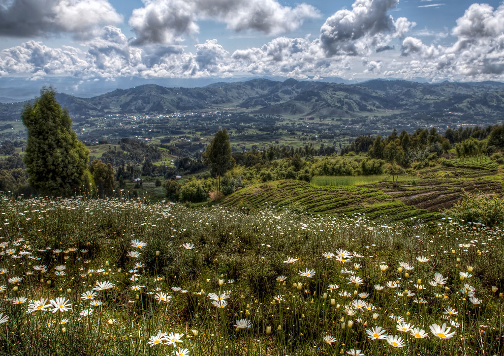 View of mountains, clouds, green landscape, and white flowers farmed in Rwanda and used to make a natural insect repellent.