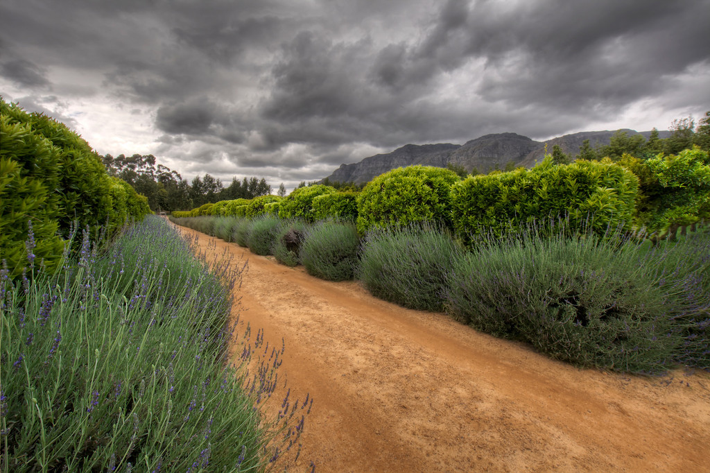 Dirt driveway to the Waterford Estate in Stellenbosch, South Africa flanked by lavender and bushes and storm clouds overhead.